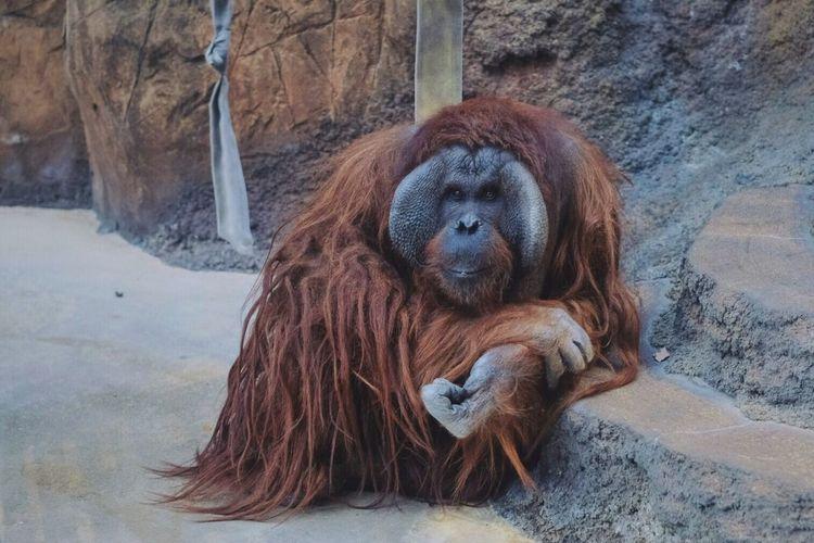 Mammal Orangutan Animal Themes One Animal Brown Lying Down No People