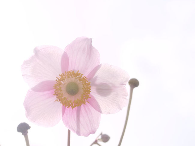 Beauty In Nature Bloom Blossom Close-up Flower Freshness Pink Color Single Flower Softness Spring Vibrant Color White Background Claudetheen