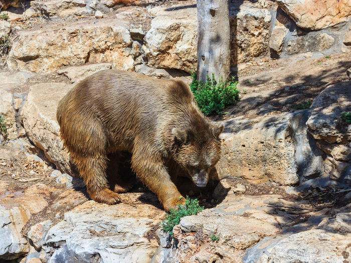 Side view of syrian brown bear on rocks