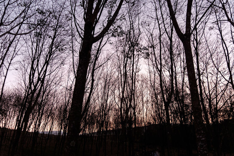 Silhouette of bare trees in forest