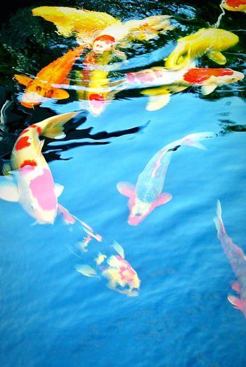 Koi Koi Fish Koi Pond Fish Fishes Water Water Reflections Pond Clear Water Swimming Carp Nature Animal Animals Swim Showcase: February Pond Life Underwater Submerged Ponds Swimming Fish Fish Swimming Pond Water Fishes In Pond Koi Carp Koifish Pet Portraits