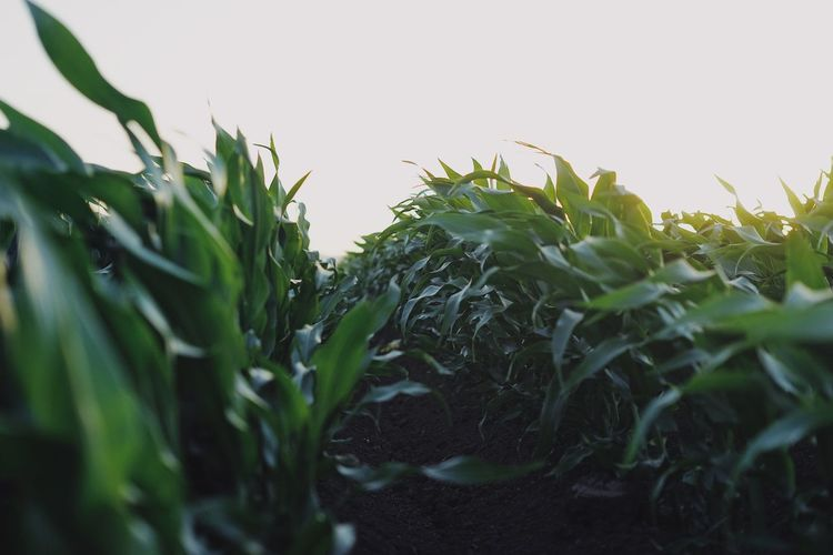 Close-up of crops growing on field against clear sky