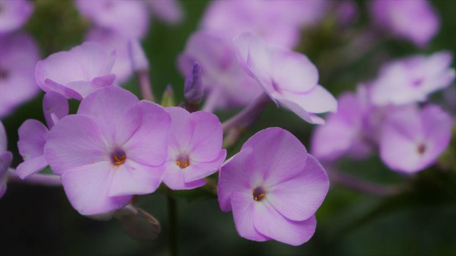 Phlox Phlox Beauty In Nature Close-up Day Flower Flower Head Flowering Plant Focus On Foreground Fragility Freshness Growth Inflorescence Nature No People Outdoors Petal Phlox Flowers Pink Color Plant Purple Selective Focus Vulnerability
