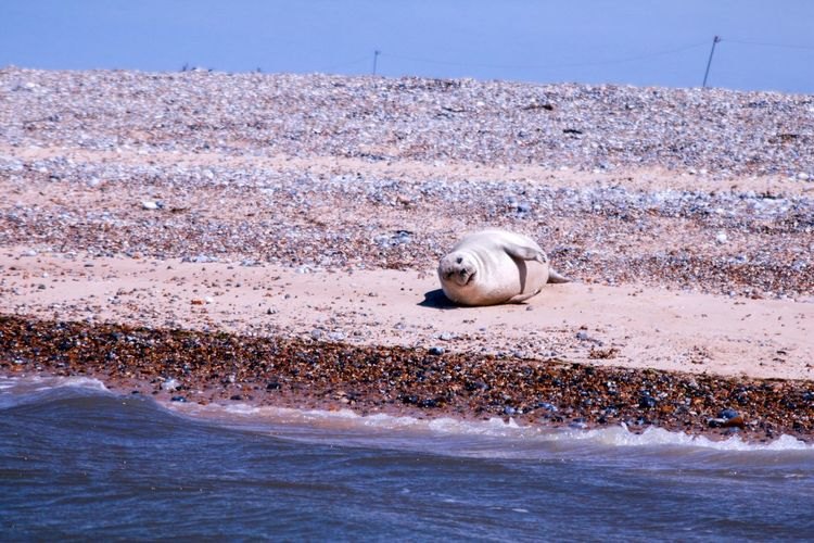 Peace and quiet. One Animal Sea Water Animal Themes Nature Day Outdoors Beach No People Relaxation Mammal Animals In The Wild Beauty In Nature Clear Sky Sky Seal Norfolk Sunbathe
