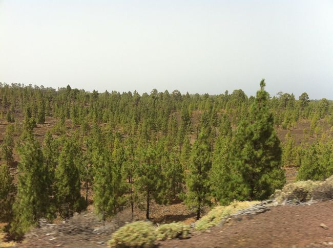 Arid Climate Canary Islands Countryside Day Forest Grass Green Green Color Landscape Leading Lush Foliage Nature Non-urban Scene Outdoors Relaxing Moments Remote Scenics Teide National Park Tenerife Tranquil Scene Tranquility Tree
