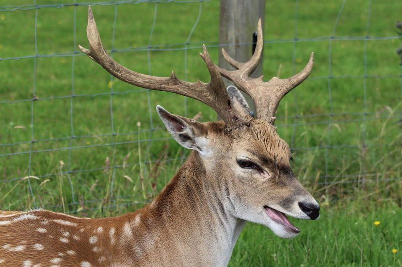 Animals In The Wild Animal Wildlife Deer Animal Themes One Animal Mammal Antler Day Stag No People Nature Outdoors Grass Close-up Laughing Deer Laughing