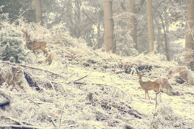 Wild Deers Animal Themes Winter Morning White Winter Animals In The Winter Mammal Forest White Forest Antler Deer Animals In The Wild Beauty In Nature Tree Trunk Nature Tree White Landscape Early Winter Morning Cold Temperature Solitude Tranquility Foggy Morning Fog Blissful Winter Frost Covered Branches