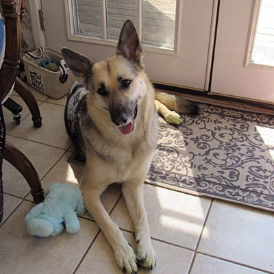 Nice visit with Olive today 💖 German Shepherd Pets One Animal Animal Themes Domestic Animals Canine Indoors