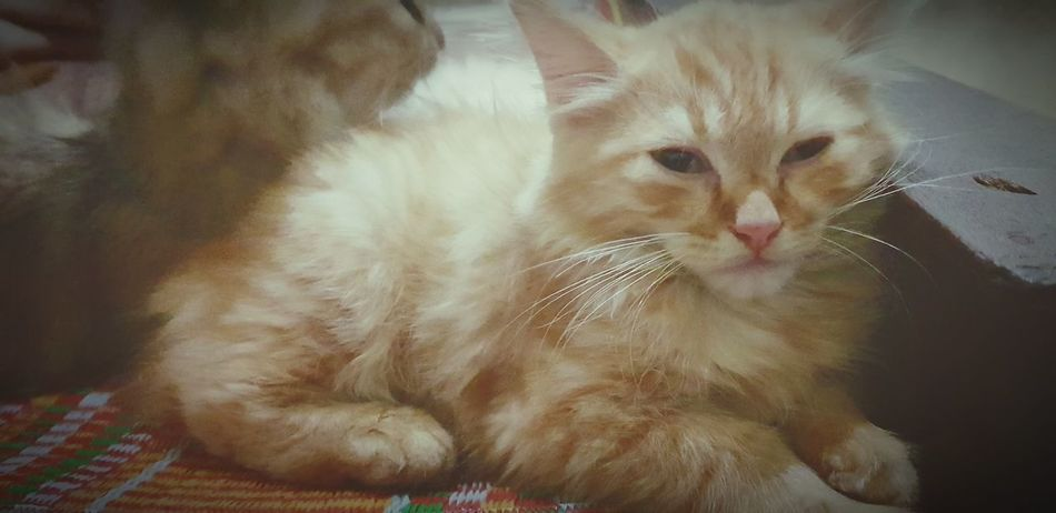 Mình tên là Chip em trai của Rô Pets Portrait Domestic Cat Feline Looking At Camera Close-up