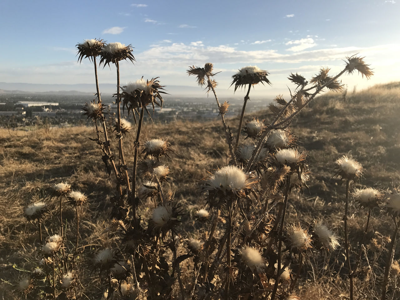 nature, growth, plant, uncultivated, flower, field, tranquility, beauty in nature, no people, outdoors, tranquil scene, sky, fragility, landscape, day, thistle, close-up, flower head