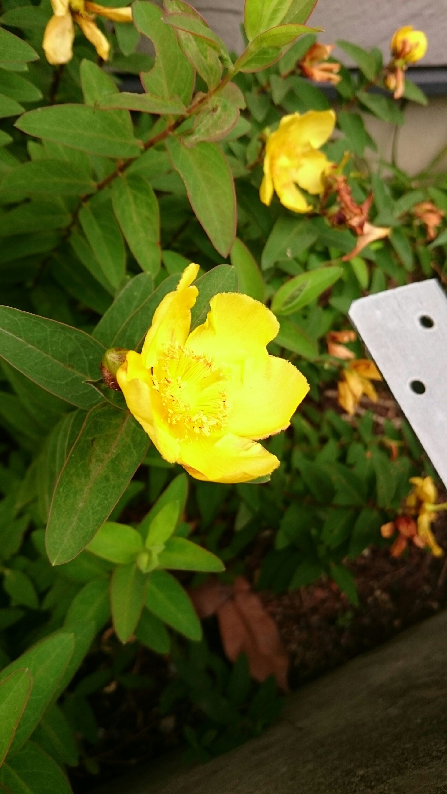 flower, yellow, freshness, petal, leaf, fragility, flower head, close-up, growth, plant, focus on foreground, beauty in nature, nature, green color, high angle view, day, blooming, no people, front or back yard, stem