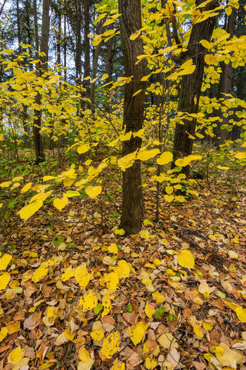 Yellow maple leaves on tree in forest during autumn