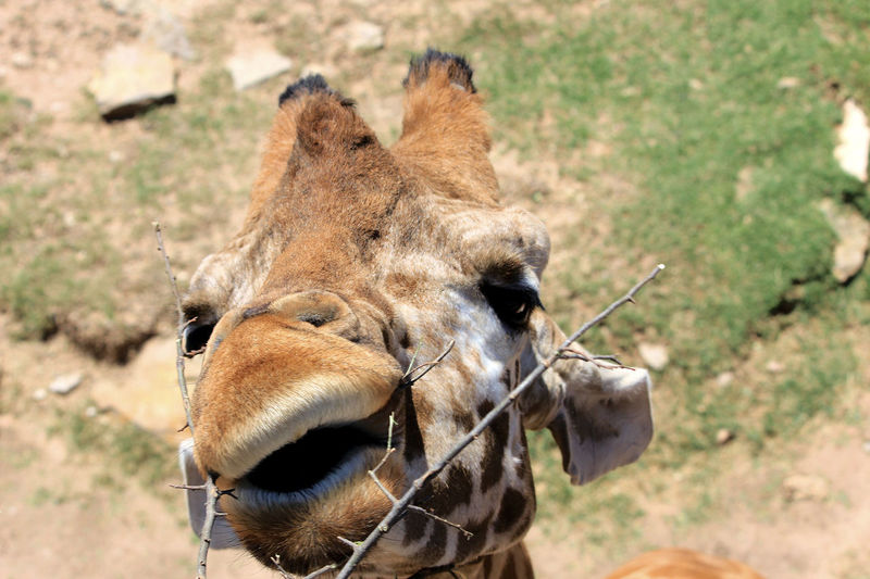 Maybe if I twist my lips this way I can get that darn leaf Animal Eating Animal Mouth Animal Themes Animal Wildlife Close-up Day Eating Focus On Foreground Giraffe Lips Mammal Mouth Nature No People One Animal Outdoors