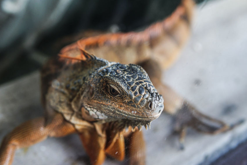 Iguana Reptile Animal Themes Animal Wildlife Animals In The Wild Close-up Day Focus On Foreground Mammal Nature No People One Animal Outdoors Reptile