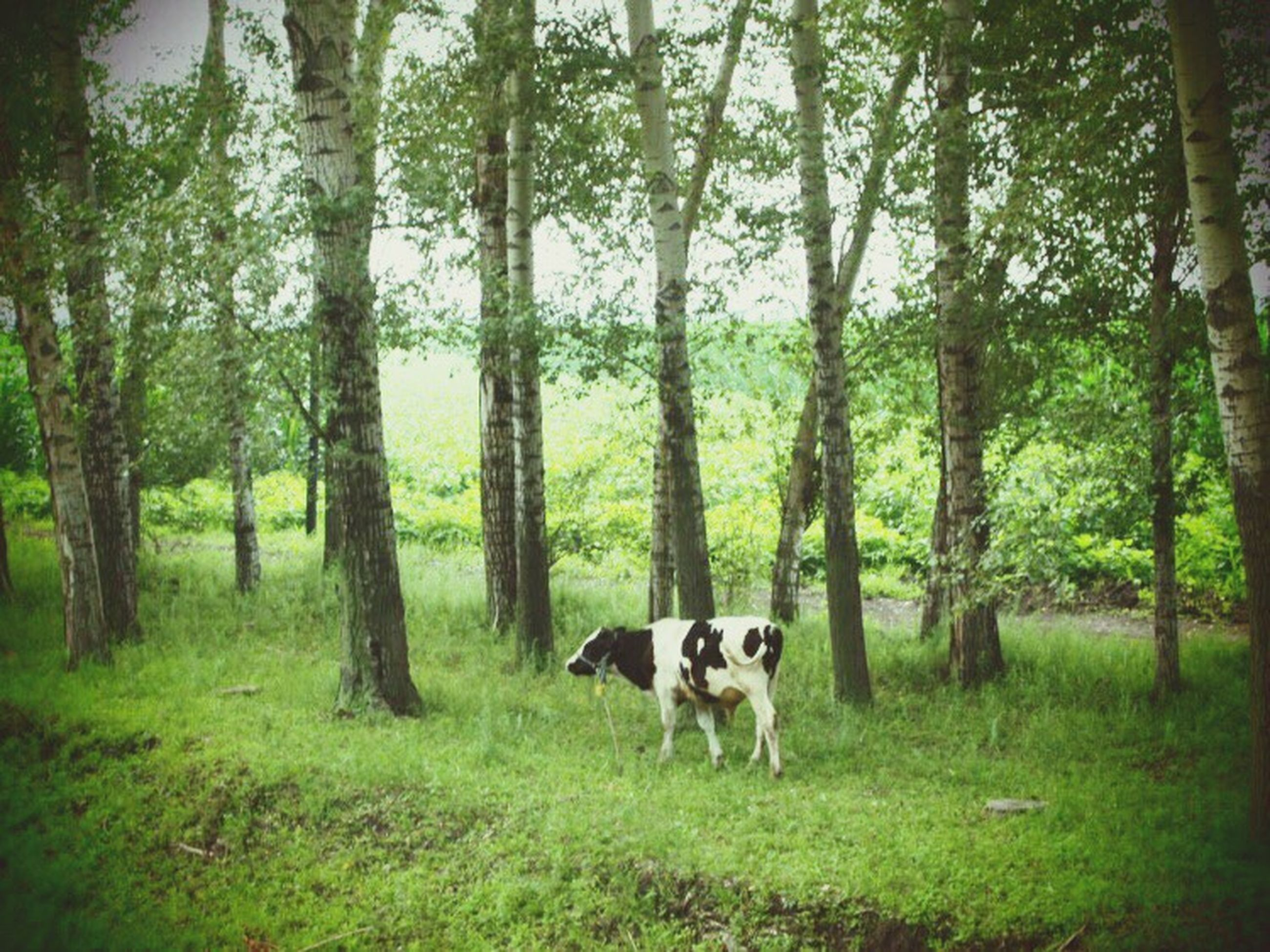 animal themes, mammal, domestic animals, tree, grass, one animal, green color, field, growth, landscape, nature, dog, pets, grassy, two animals, standing, day, grazing, forest, herbivorous