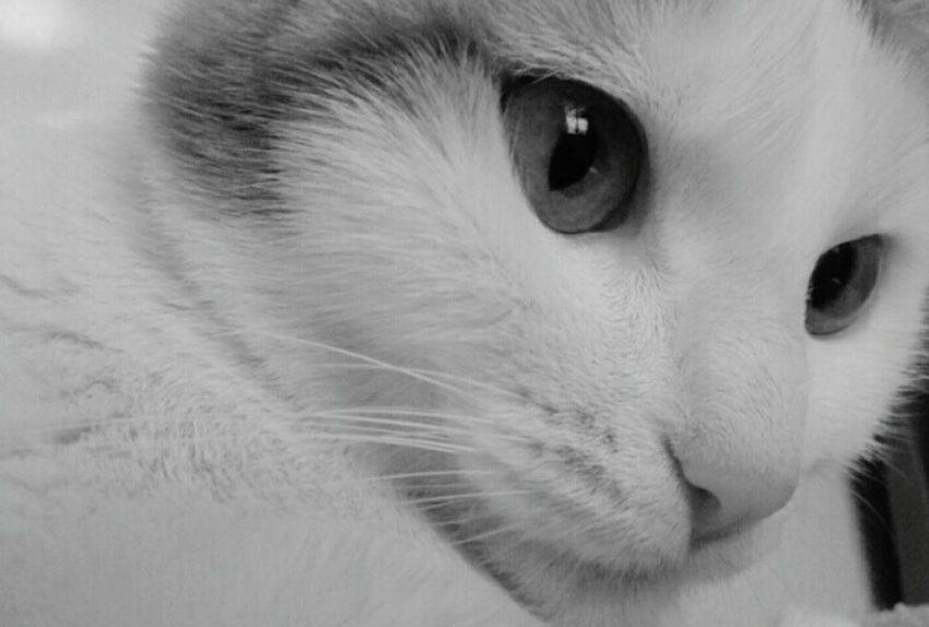 Baby Britney! Cats Cat♡ Cat Lovers Mypets Whitecat Love ♥ Britneyspears