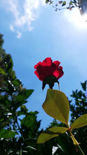 kiss the sky Kiss The Sky Flower Head Flower Red Leaf Petal Tree Pink Color Rose - Flower Close-up