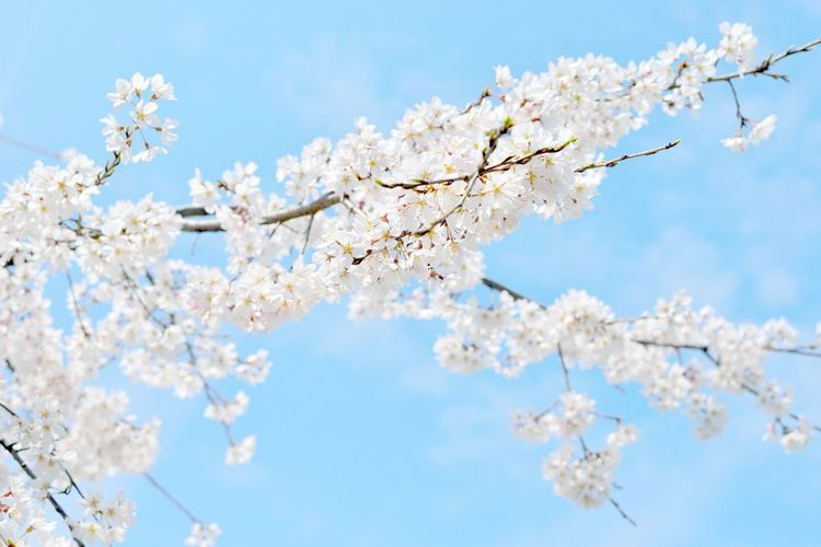 Beautiful white cherry blossoms and blue sky, Japan Apple Blossom Apple Tree Beauty In Nature Blossom Branch Cherry Blossom Cherry Blossom Cherry Blossoms Cherry Tree Flower Fragility Freshness Growth Hanami Japan Japan Photography Japanese  Japanese Garden Japanese Nature Nature Sakura Springtime Tokyo Tokyo,Japan Tree