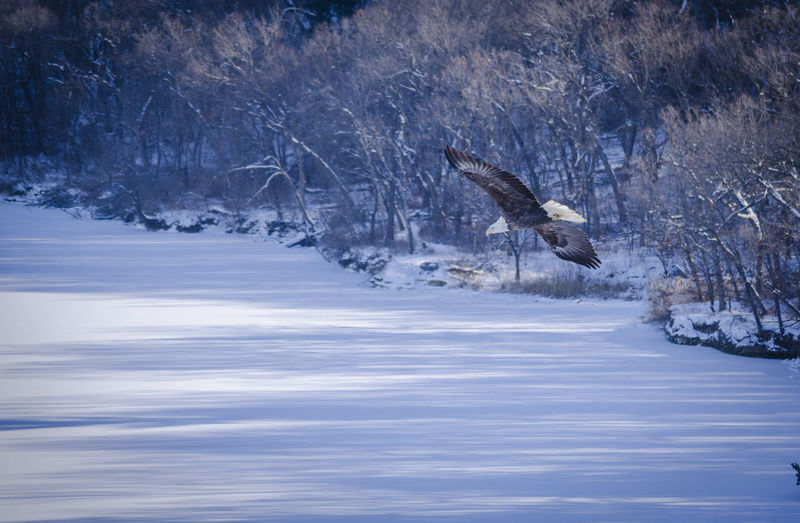Bald Eagle Eagle Bald Eagle Starved Rock State Park StarvedRock Tree Water Beauty In Nature One Animal Day No People Outdoors Spread Wings Snow Cold Temperature Flying Animal Themes Bird Winter Animals In The Wild Nature Animal Wildlife Scenics