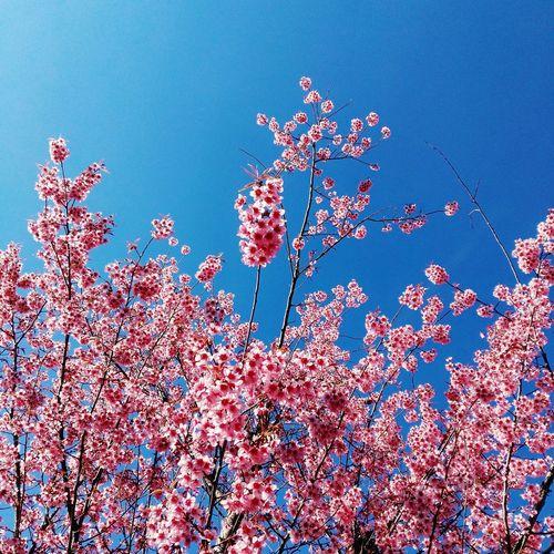 樱花🌸Beauty In Nature Nature Sky Close-up 365 Project Of Virgolcj 行色视觉 樱花 暖冬 蓝天 Flowers Honor 7i PhonePhotography Winter Sunshine