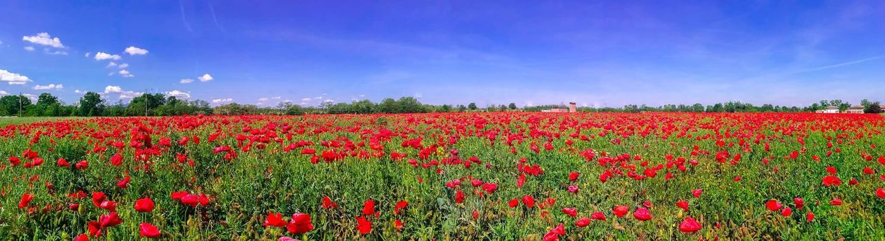 Flower Red Field Nature Plant Beauty In Nature Growth Poppy Summer Rural Scene Abundance Flowerbed Sky Landscape Springtime Multi Colored Landscaped Freshness Crop  Agriculture