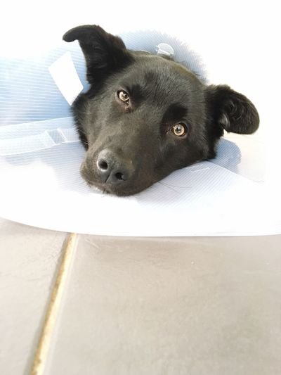 On the mend Buster Collar Vet  Mammal Animal Themes One Animal Animal Pets Canine Domestic Dog Animal Head  Looking At Camera