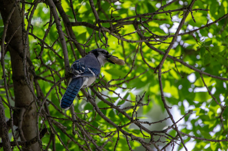 Blue Jay eating a peanut! Blue Jay Animal Animal Themes Animal Wildlife Animals In The Wild Bird Branch Green Color One Animal Perching