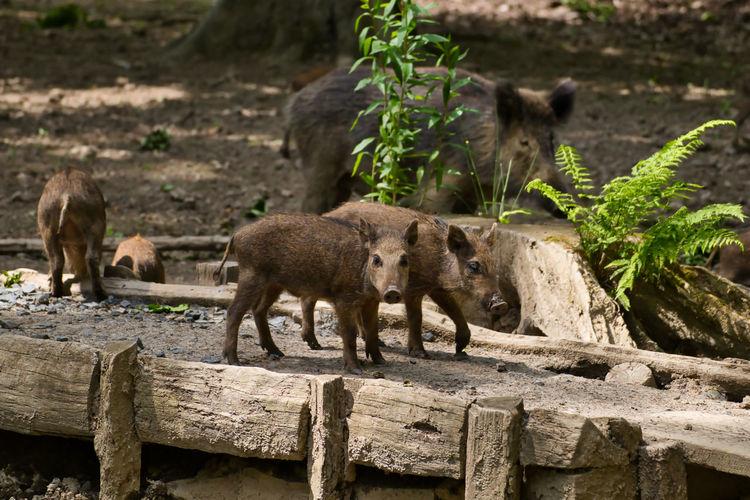 Boar Wildlife