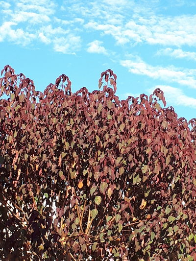 rojo y azul Tree Sky Clouds Leaves Sky Close-up Growing Branch Tranquility