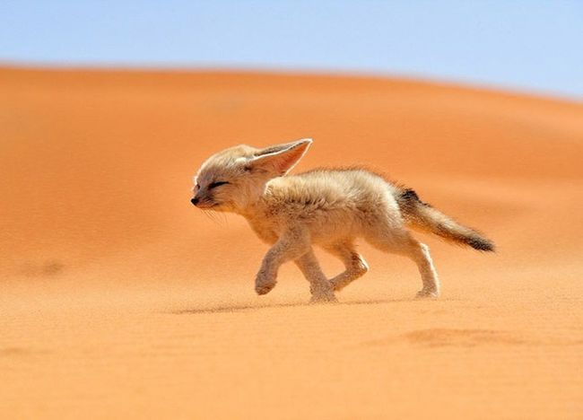 This cute animal live in sahara desert ,The fennec fox is the smallest in the fox family Travel Destinations Fennecfox Fox Animals In The Wild Dessert Arabs Jazirah Arabian Sand Cute Cute Pets Pet Sahara Desert Nature Beautiful
