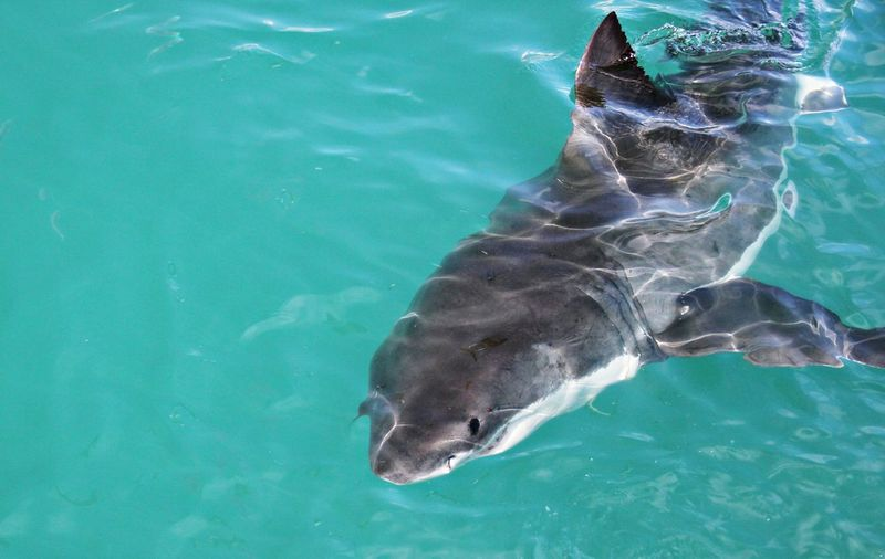 High angle view of shark in water