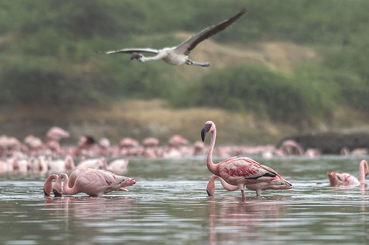 An Another World Lesser Flamingo Animal Animal Themes Animal Wildlife Animals In The Wild Bird Flamingos Flock Of Birds Flying Group Of Animals Lake Large Group Of Animals Mid-air Outdoors Water