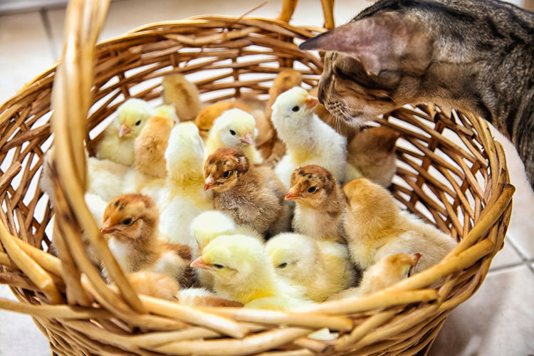 The cat sniffs chickens in a basket Cat Chicken Group Of Animals Animal Themes Basket Animal Young Animal Young Bird Bird Vertebrate Wicker Animal Wildlife Container No People Mammal Close-up Pets Domestic Domestic Animals Animal Family Indoors  Four Animals