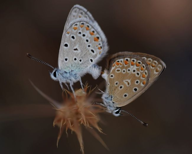 Close-up of butterflies mating on plant