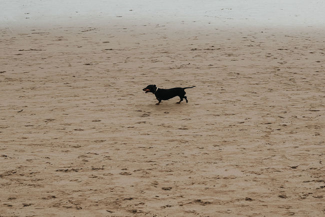 sandy play Go Higher One Animal Domestic Pets Domestic Animals Animal Themes Animal Mammal Dog Beach Nature High Angle View Running Full Length Day Land