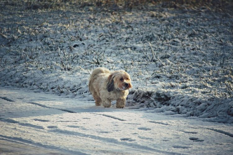 Dog walking on snowcapped road