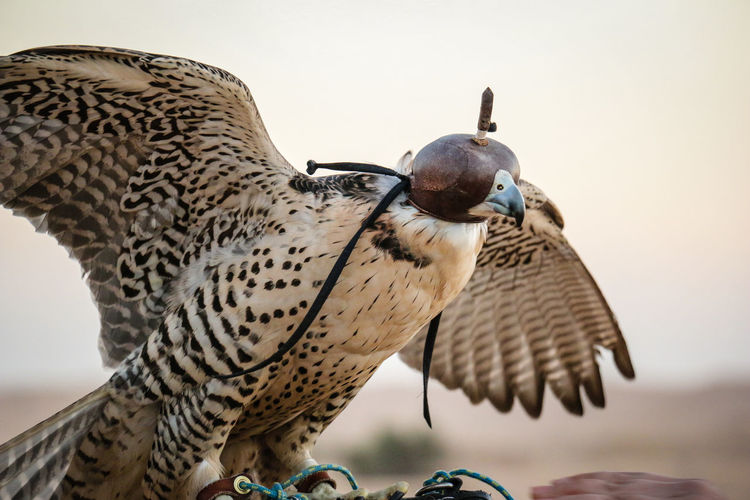 Falcon hat Animal Themes Animal Wildlife Animals In The Wild Bird Desert Desert Life Dubai Dubaidesertsafari Falcon Falconry Nature No People Outdoors Predator Predators Wings Wings Spread Wingspan