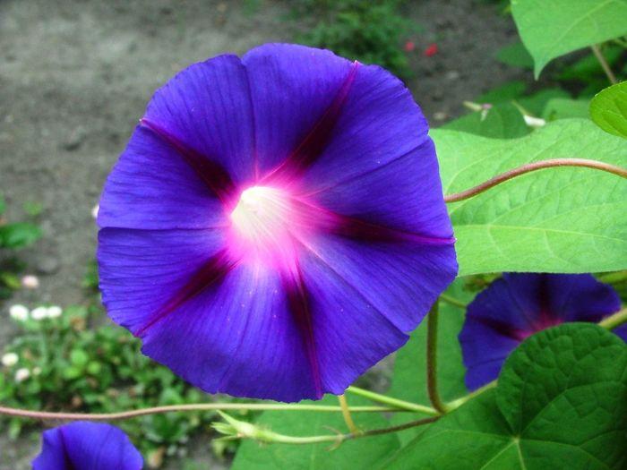 Kert Garden Garden Photography Virágok Flower Flowers Hajnalka Morning Glory Morningglory Morning Glory Flower Fény Fenyek Lights Light Kekvirag Blueflower Mamakertje Gatdenofmom