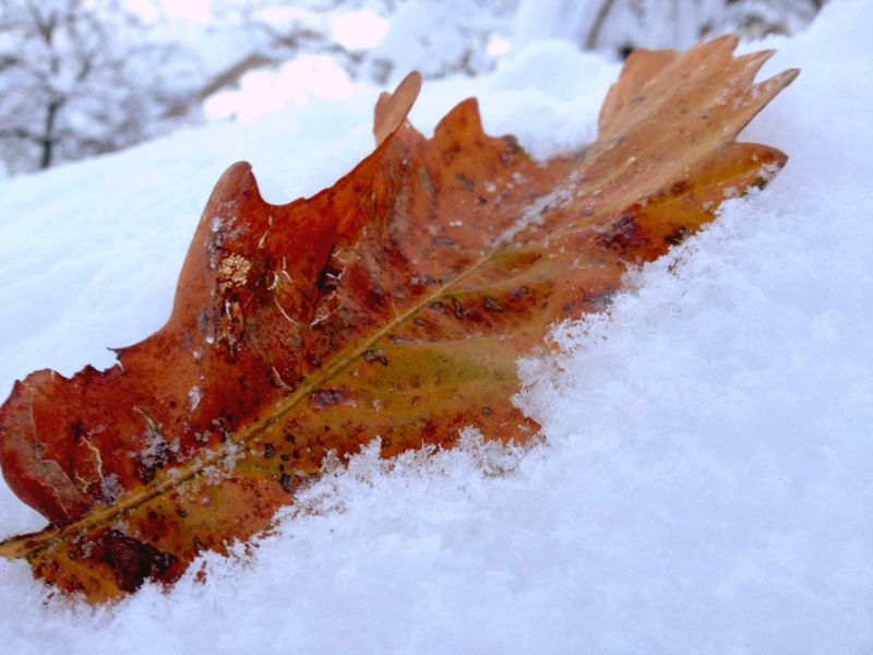 Change Leaf Autumn Maple Leaf Winter Nature Maple No People Close-up Day Outdoors Cold Temperature Snow Beauty In Nature