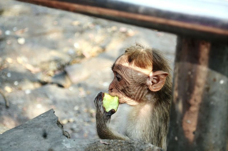 Monkey Thief Eating Mango Nikon D5100  Hungry Cute Shadow in Tamilnadu India