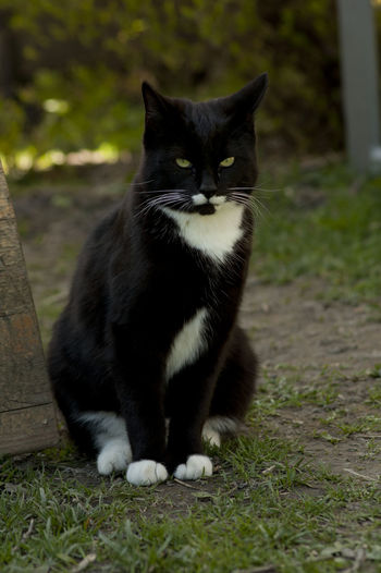 Alertness Black Color Cat Close-up Day Domestic Animals Domestic Cat Focus On Foreground Grass Grassy Mammal Nature Outdoors Pets Portrait Relaxation Selective Focus Sitting Staring Whisker