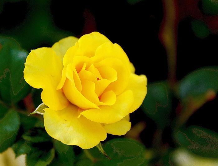 Rose... Flower