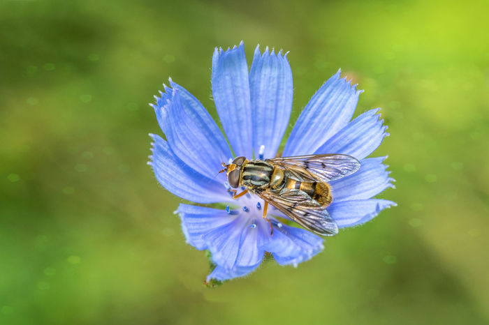 Close-up of Hoverfly on a blue flower. Animal Animal Themes Animal Wildlife Animals In The Wild Beauty In Nature Bee Close-up Flower Flower Head Flowering Plant Fragility Freshness Growth Hoverfly Hoverfly On Flower Insect Invertebrate Nature No People One Animal Petal Plant Pollen Pollination Purple Vulnerability