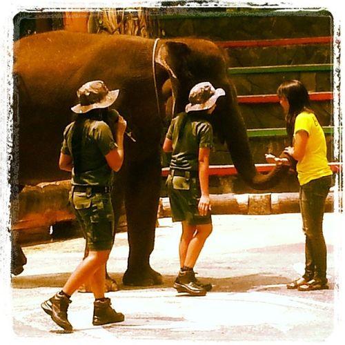 Elephant Tamansafari Kenalan Denganwidya