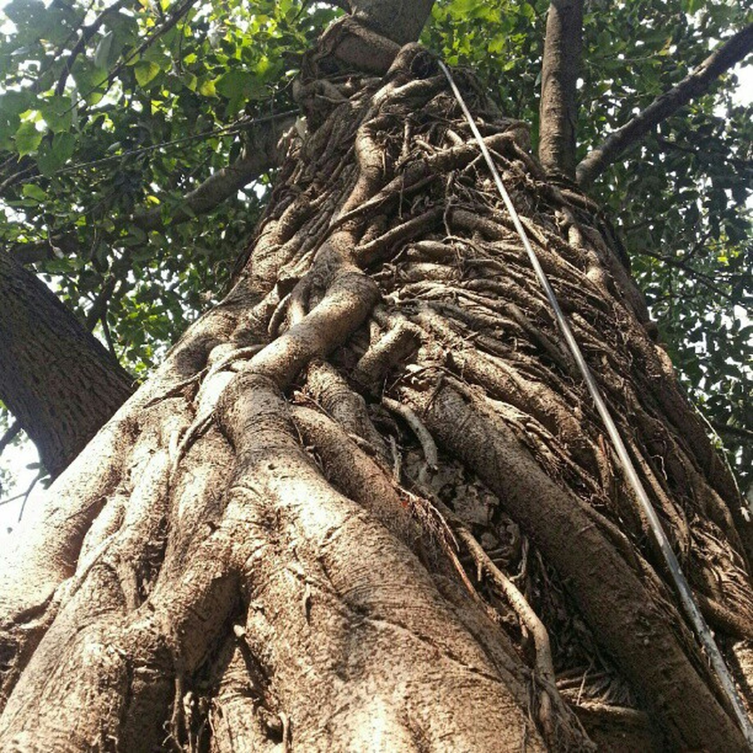 tree, tree trunk, low angle view, branch, growth, nature, forest, tranquility, bark, textured, day, root, outdoors, wood - material, no people, woodland, sky, sunlight, close-up, beauty in nature