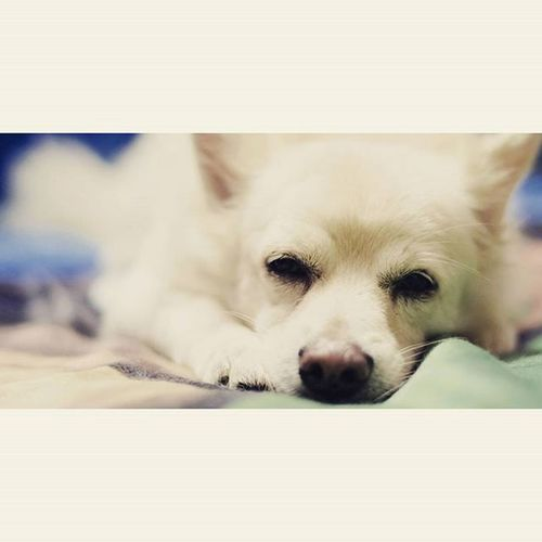 Let the sleeping dog lie 📷😘🐕 Myfirstportrait Pet Pets Ilovedogs puplove doglove mydoggies