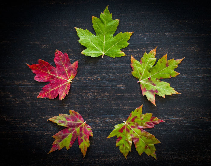 Found 5 leaves, each in a different stage of changing colors. I aligned them to show the fall cycle of a leaf. Autumn Autumn colors Changing Seasons Cycle Autumn Beauty In Nature Change Close-up Day Directly Above Fragility Freshness Green Color Growth High Angle View Leaf Maple Maple Leaf Nature No People Outdoors Plant Table