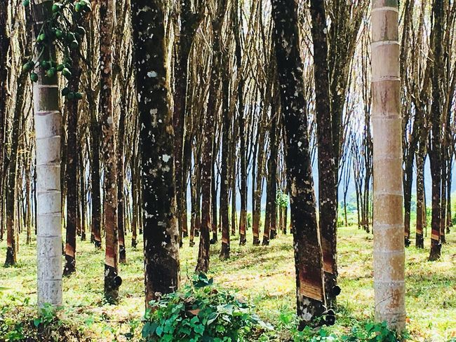 Rubber plantation Nature Textures Rubber Plantation Tree Trunk Nature Tree Forest Growth Outdoors Beauty In Nature Day