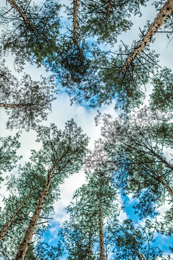 Tree Plant Low Angle View Growth Sky Branch Beauty In Nature Tranquility Nature Day Tree Trunk Trunk No People Forest Land Scenics - Nature Outdoors Tranquil Scene Tall - High Directly Below Tree Canopy  Coniferous Tree Trees Psychedelic