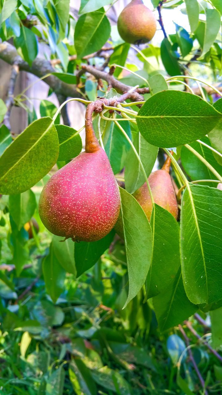 plant part, leaf, food and drink, food, healthy eating, freshness, fruit, plant, growth, tree, green color, wellbeing, close-up, nature, no people, focus on foreground, day, beauty in nature, hanging, fruit tree, outdoors, ripe